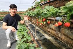暖冬太熱導致恆春草莓早熟又小顆 遊客元旦連假欲採恐撲空