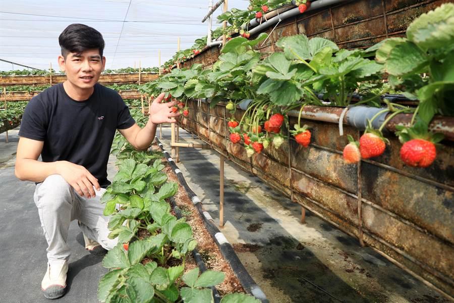 尤俊景5年前從大陸返鄉種草莓,不僅顛覆一般人覺得恆春只有種洋蔥的刻板印象,更讓許多人留下深刻印象。(謝佳潾攝)
