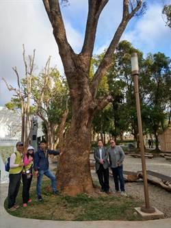 樟樹集體暴斃!花博森林園區遭褐根病入侵