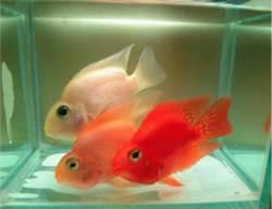紅魚養成白魚 大同大學新技術讓女人皮膚美白