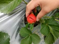 影》踐踏農民!大湖草莓今年種植不易 還被遊客惡意摧殘