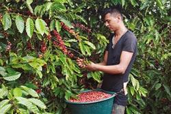 羅布斯塔咖啡豆走紅