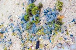 世界第3毒 綠島僧帽水母爆量