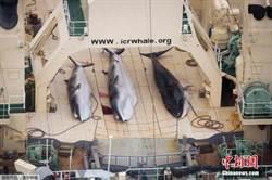 日本重開商業捕鯨 陸學者:有美國吸引「火力」是最佳時機