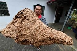 摘除超級巨大的虎頭蜂巢 當生態解說教材