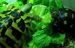 愛龜如癡 飼主看龜「慢活人生」