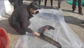 捕到1公尺巨鰻!喊價高達29萬 他堅持不賣還放生