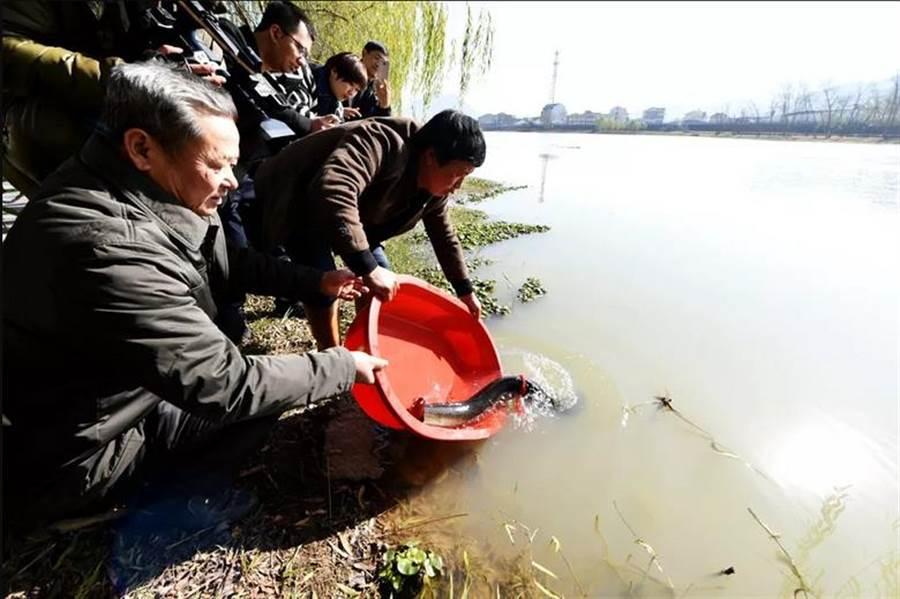 最終經過多方考量,王姓村民也選擇將巨鰻放回河裡,獲得許多人的讚賞(圖翻攝自/台州晚報)