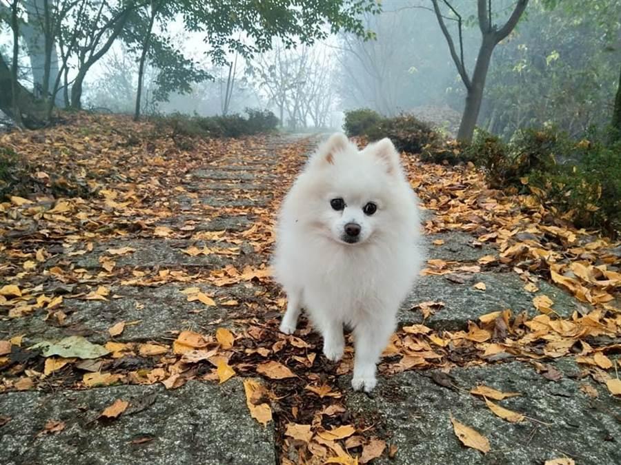 可愛的「小究桑」,到梨山感受美景與清新空氣,喜迎2019!(圖/小博美愛七逃粉絲專頁提供)