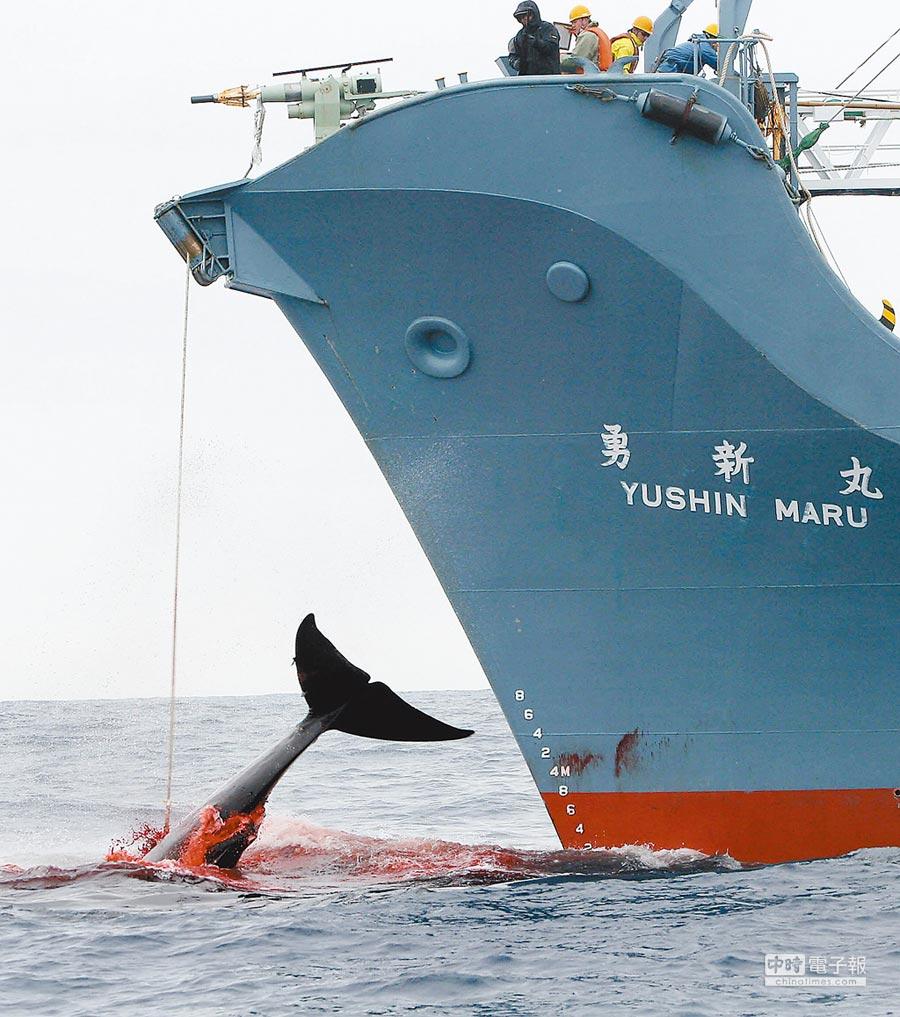 日本不久前宣布將於7月重新開始商業捕鯨。圖為日本捕鯨船2006年在南太平洋海域捕鯨。(新華社資料照片)