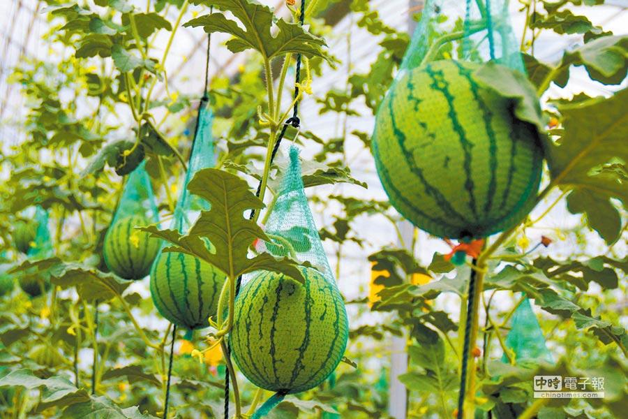 東台西瓜。