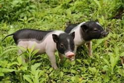 獨家》北市大安區路邊發現死亡麝香豬  死因待查