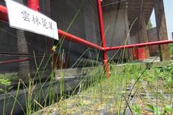 淡水馴化雲林莞草 成功結出卵形果實