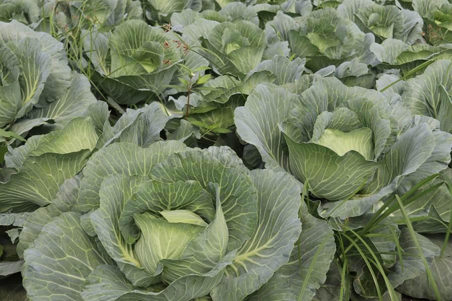 往年高麗菜容易在農曆年後價格崩跌。(資料照,農委會提供)