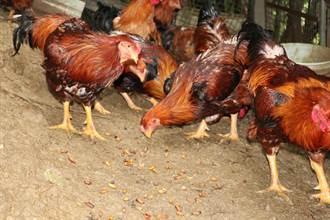 減少抗生素使用 苗改場研發動物保健食品「抗菌蠶蛹」