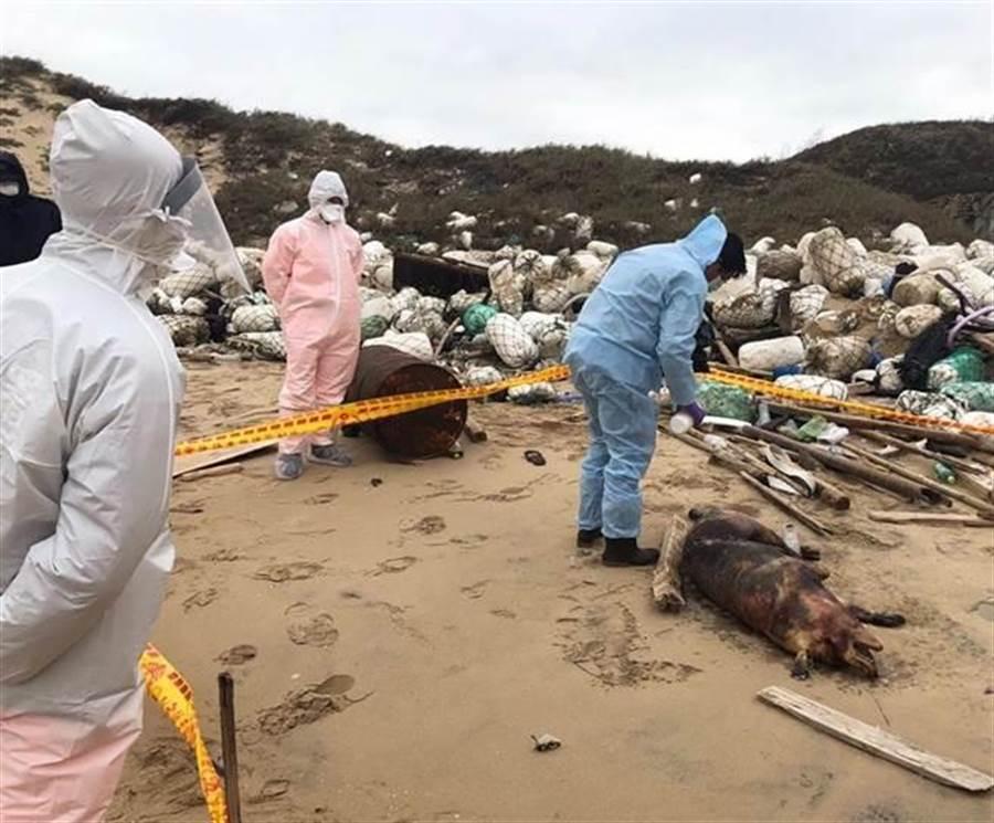 金門12月31日在田埔海岸發現1隻疑似從對岸漂來的死豬。(岸巡提供)