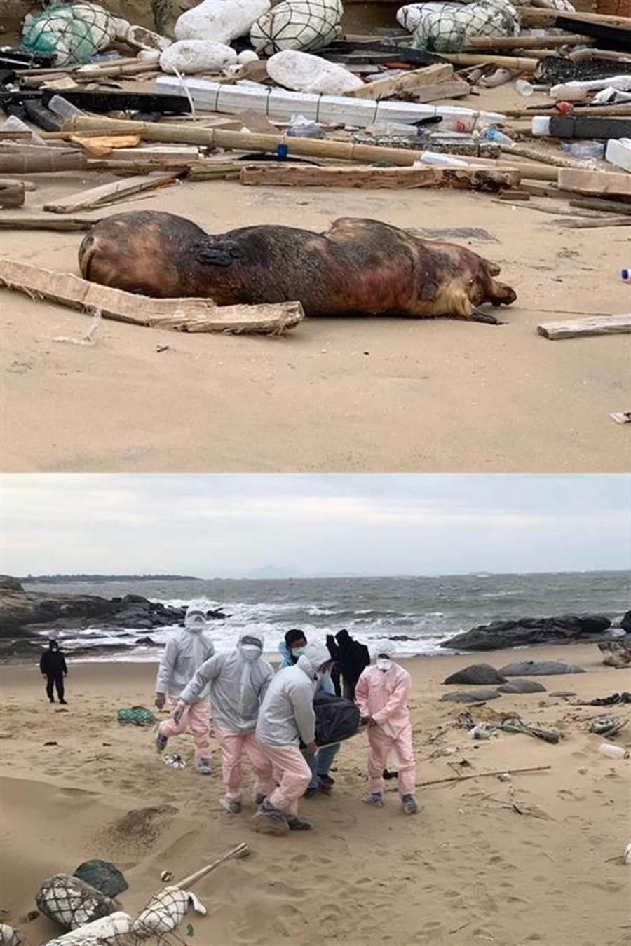 現場丈量死豬長約170公分、高60公分,重約70公斤,外觀部分發黑,死亡時間超過3天以上。(岸巡提供)