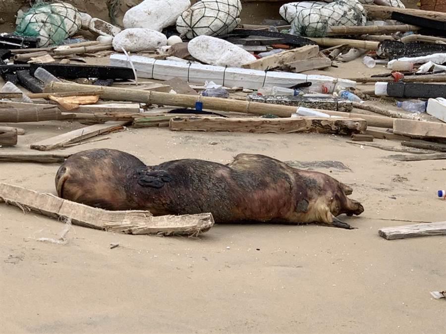 金門田浦海岸死豬確診感染非洲豬瘟。(防檢局提供)