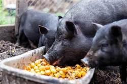 海漂豬帶毒 中央將設ㄆㄨㄣ棚餵豬!網諷古代穿越劇