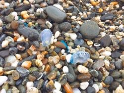 藍瓶僧帽水母有微毒 海灘戲水勿碰