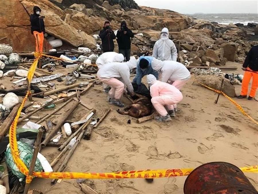 農委會表示,去年12月31日漂至金門田埔海岸的死豬檢體非洲豬瘟檢驗結果為陽性。(金門岸巡隊提供)