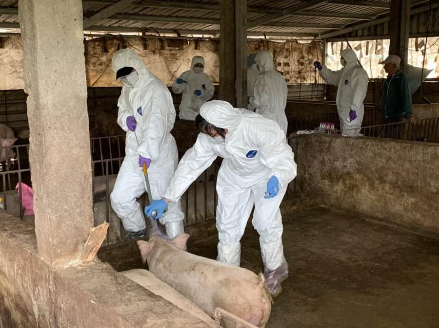 金門今天起對全島養豬場,擴大進行採血檢驗和健康訪視作業。(李金生攝)
