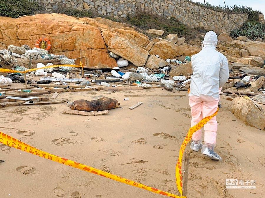 海巡署岸巡隊107年12月31日在金門金沙鎮沙灘發現一隻死亡豬隻,隨即封鎖現場,並通報金門縣動植物防疫所等單位前往處理。(金門岸巡隊提供)