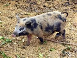 人豬關係1萬年!豬年生肖特展揭秘趣