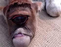 印度驚見獨眼巨「牛」! 村民供為神明膜拜
