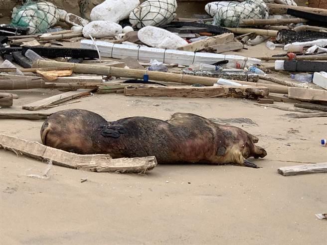 金門因海漂豬確診非洲豬瘟,養豬場移動管制14天,學者認為管制時間遠遠不足。(資料照,防檢局提供)