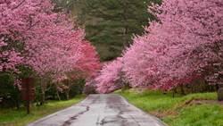武陵櫻花季將開跑 每日限6000人