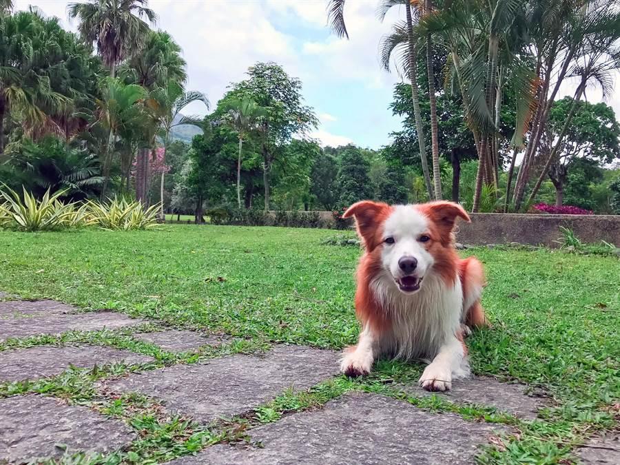 寵物溫泉客房外面就是大片草地,可以讓布布盡情地玩耍。(莊哲權攝)