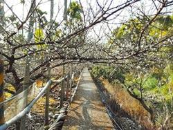 福興迎梅花季 周六滿開飄香