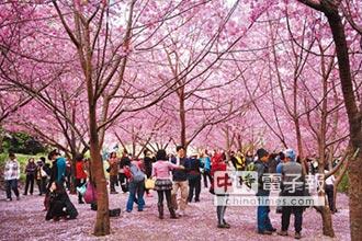 武陵農場櫻花季 年初三起交管