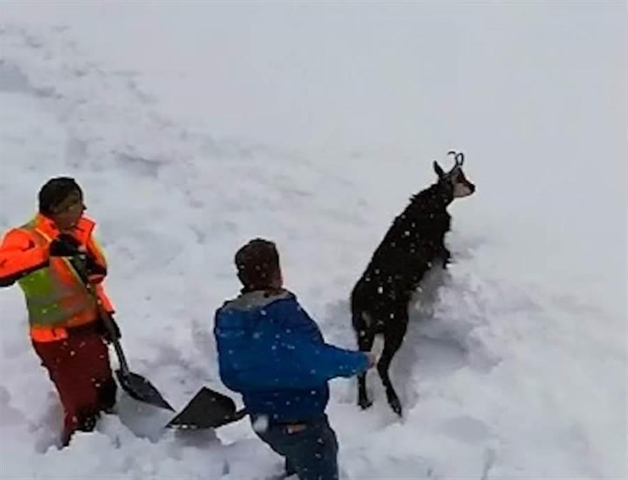 駕駛員發現有羊被埋在雪中 拿鏟子展開救援