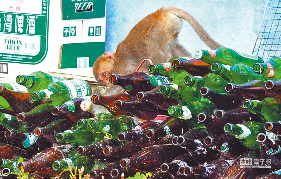 越來越接近人類生活圈的台灣獼猴從保育類動物中除名,但是仍不能獵捕。      (莊哲權攝)