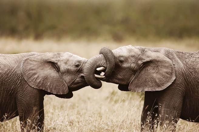 美中兩大象在貿易戰硝煙中,罕見同步導引經濟「軟著陸」。(圖/達志影像/shutterstock)