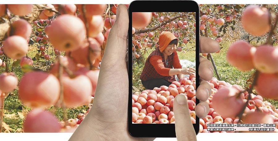 大陸農民直播賣水果,打開鄉村致富之路。圖為山東果農分揀採摘的蘋果。(新華社/設計畫面)