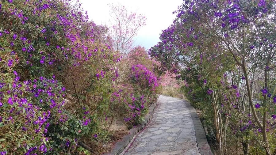 楠西梅嶺梅峰古道山櫻花、紫牡丹、紅花風鈴木盛開,與梅花爭豔。(許鴻文提供)
