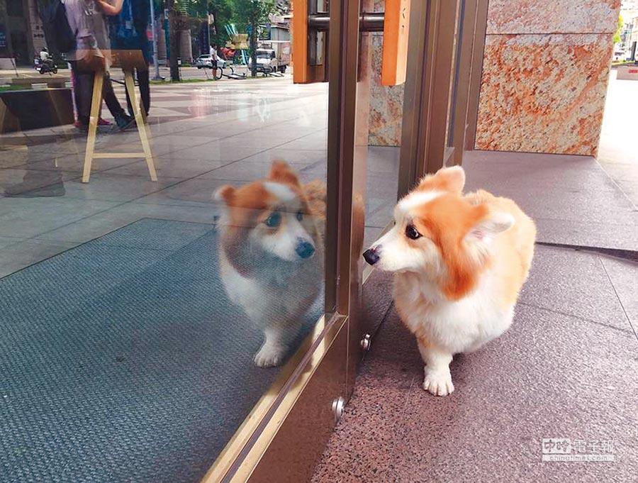 柯基YUMI不曾照鏡子,一次路過店家落地窗時,看到自己的倒影嚇了一大跳。(甘嘉雯攝)
