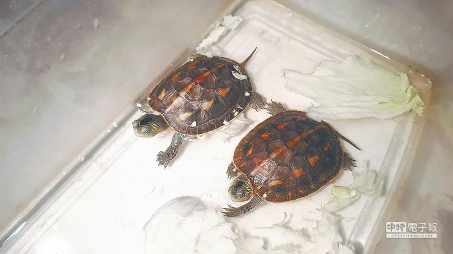 可愛又頑皮的小斑龜。(邱立雅攝)