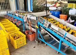 國產柑橘農藥殘留風險低 中市農業局籲消費者安心選購