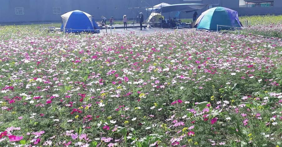 龍井區農民每年12月至隔年2月間都會種植波斯菊、油菜花等景觀綠肥作物,綻放的小花形成大片五彩繽紛的花田。(陳世宗翻攝)