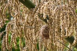 麻竹開花蔚奇觀 迷你版筍子掛滿枝頭