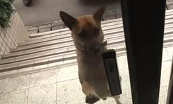 超萌警犬「肉掌按鈕開門」影片 聰明可愛還會保護員警