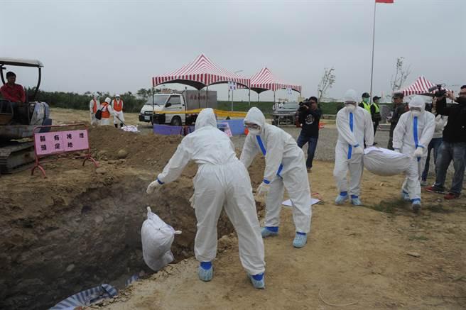 感染豬瘟的豬隻被撲殺後就地掩埋、消毒。(陳慶居攝)