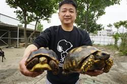 農舍庭院變沙地「龜樂園」朱國強豪養17隻陸龜
