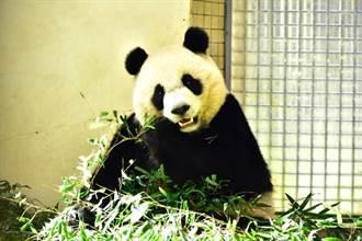 貓熊「圓圓」吃竹葉卡「菜渣」!特製牙刷護理大白牙
