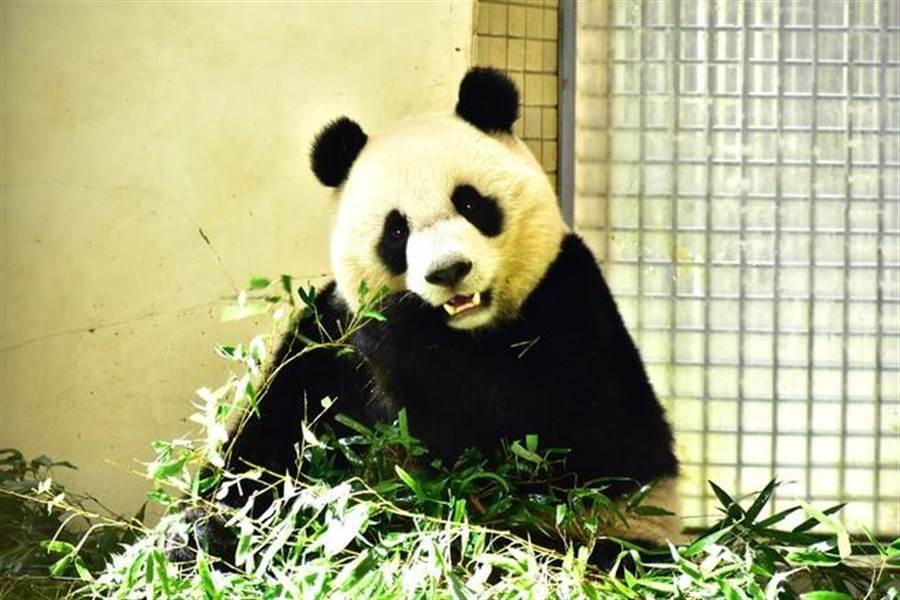 大貓熊「圓圓」吃完竹葉後,會發生「菜渣」卡在牙齦裡的問題。(台北市立動物園提供)
