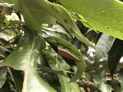 荔枝椿象防治要趁早  一月中起斷其源頭